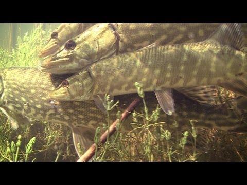 RARE: Pike fish spawning / нерест щуки / tarło szczupaka. Щука szczupak snoek muskie.