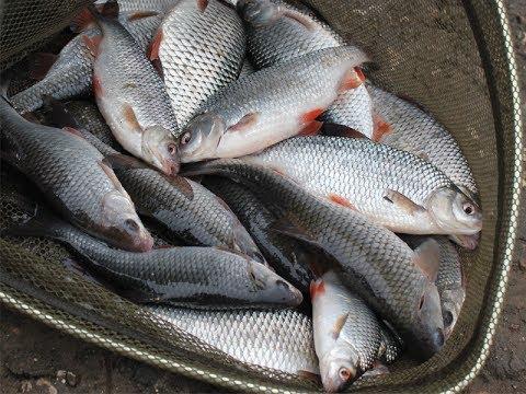 Ловля плотвы на фидер видео : Рыболовный дневник