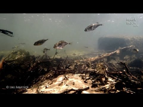 Underwater Wild Series/Three-spined Stickleback (Gasterosteus aculeatus) - Animalia Kingdom Show