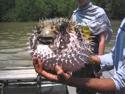 Рыба фугу фырчит
