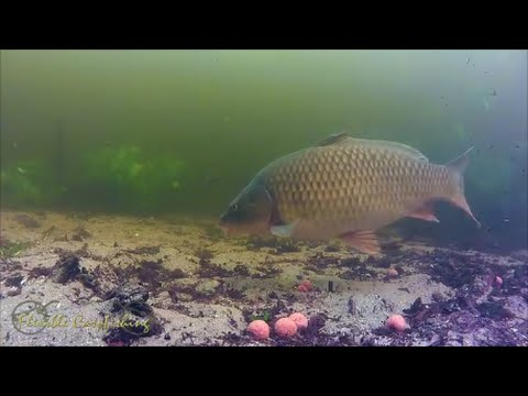 Ловля карпа на бойлы, видео под водой. Fishing carp baits underwater