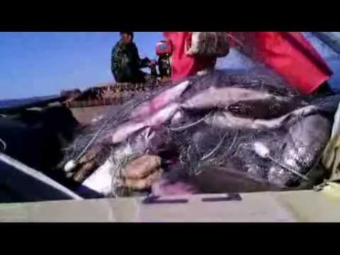 Сезонный промысловый лов кеты в Амуре