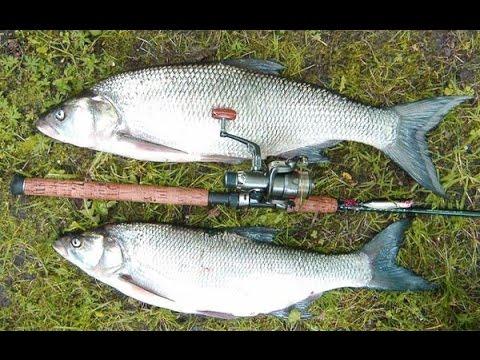 Рыбалка на жереха на Нижней Волге. Тактика ловли жереха на сбирулино.