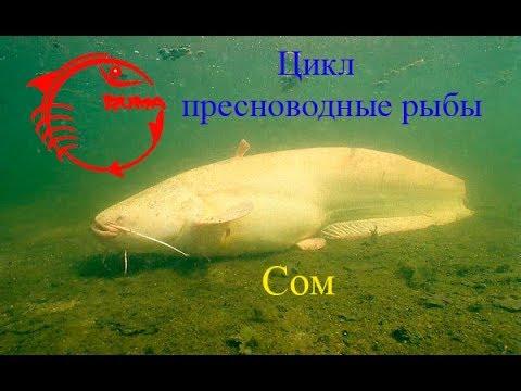Сом - описание самой крупной рыбы пресных водоёмов