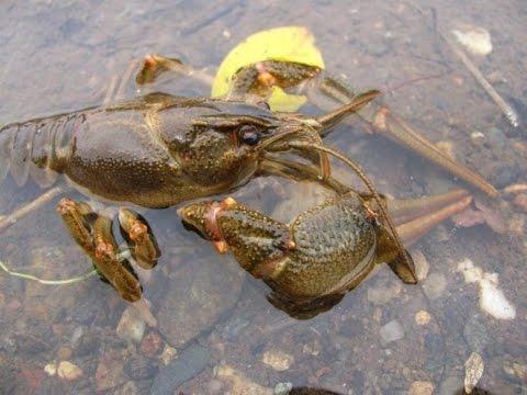 Подводная Охота на Раков. Spearfishing on Сrayfish.