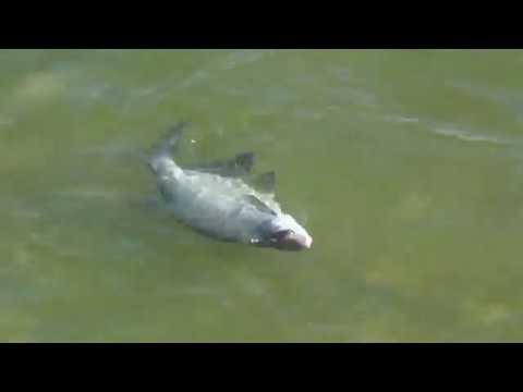 Солитерная рыба