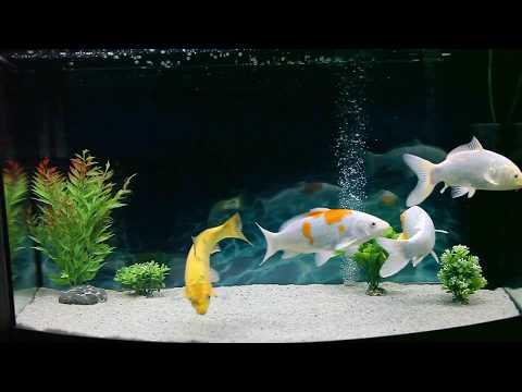 Карпы кои в аквариуме