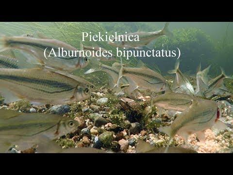 Piekielnica (Alburnoides bipunctatus). Riffle minnow, spirlin, bleak