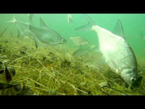 Реакция леща на прикормку. Стая рыбы. Чем питается лещ зимой? как правильно установить камеру