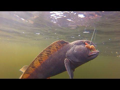 Рыбалка. Ловля зубатки