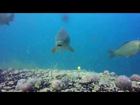 ARM Fishing ; Как клюёт карп под водой КАЧЕСТВЕННАЯ ПОДВОДНАЯ СЪЁМКА