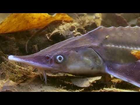 СТЕРЛЯДЬ. О чём молчат рыбы 50