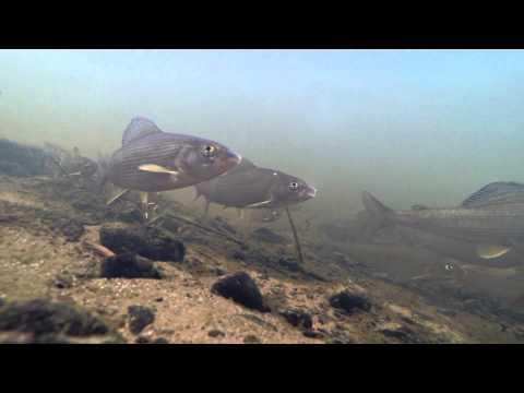 Хариусы, подводная съемка, обычная лесная речушка.