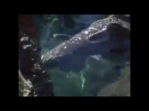 Латимерия — выживший свидетель динозавров