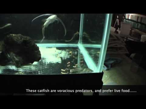 Bolt Catfish