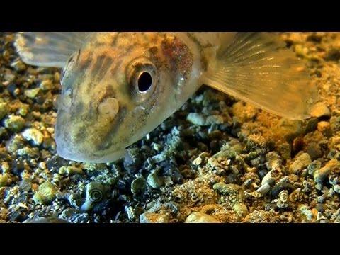 Fishing: Gudgeon underwater. Рыбалка: пескарь под водой. / Gründling