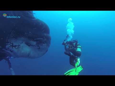 Дайверы запечатлели гигантcкую луну-рыбу