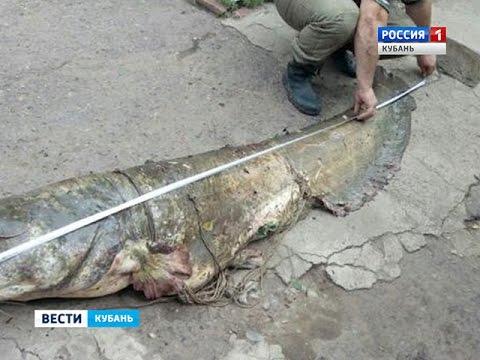 На Кубани рыбак выловил огромного сома и продал его за 25 тысяч рублей