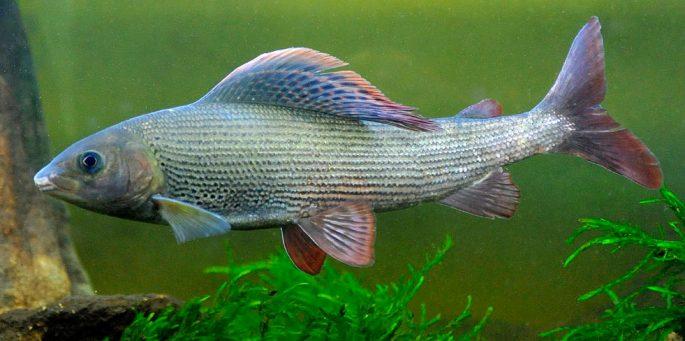 Что за рыба хариус и как она выглядит