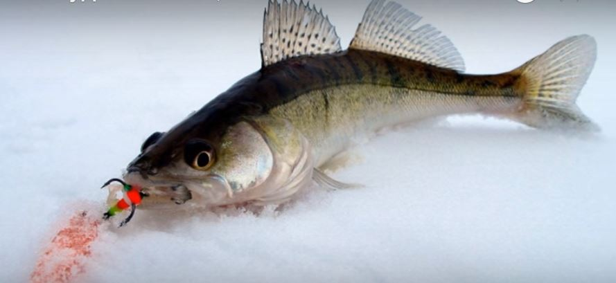 Судак — это не только очень вкусная рыба, но и очень красивая.