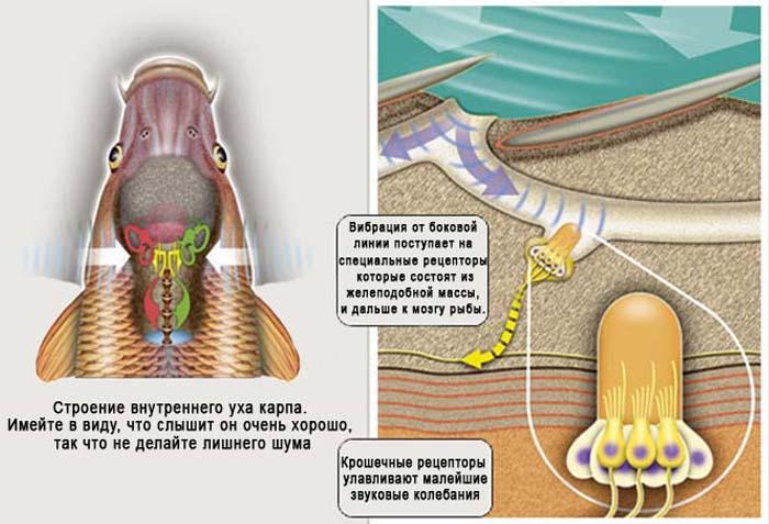 Органы слуха у рыб