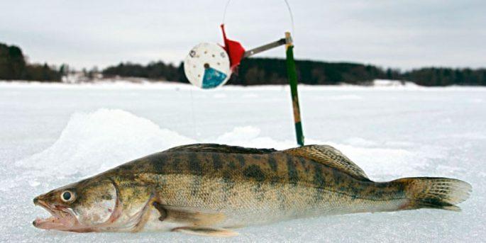 Ловля судака зимой на блесну жерлицы и тюльку