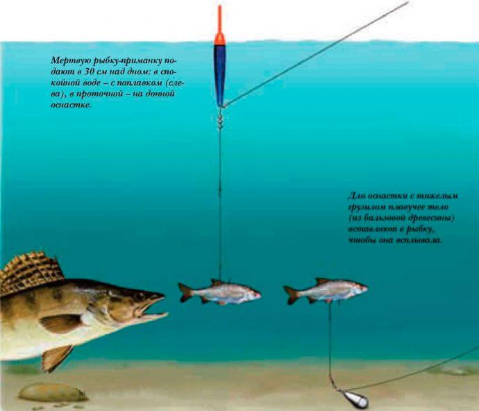 Как сделать донную снасть на судака и поймать хищника