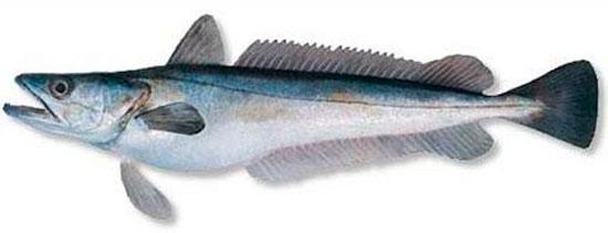 Виды белой рыбы, названия и ососбенности