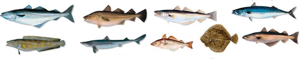 белая рыба виды названия список морская