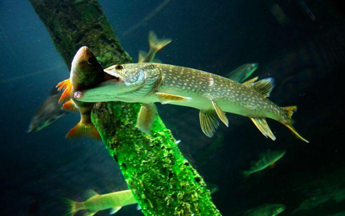 Качества речной рыбы