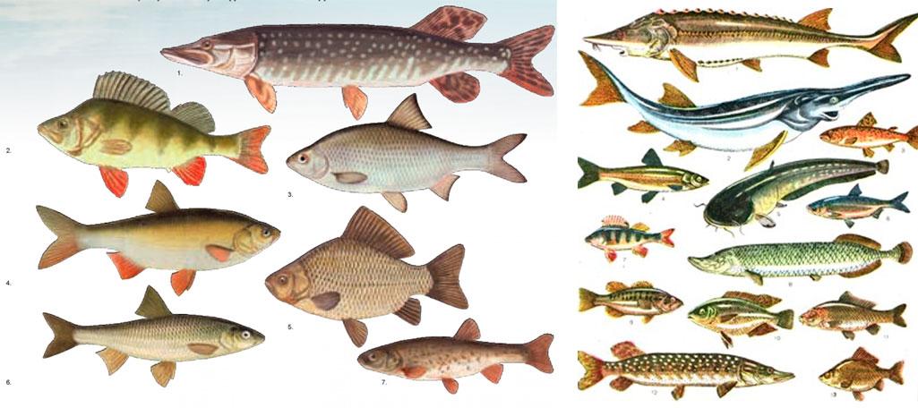 окунь и карась рыбы