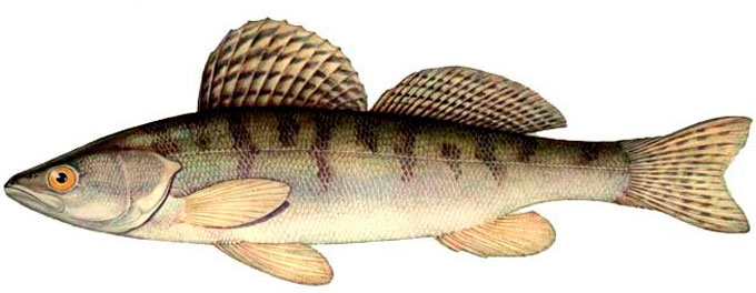 речная белая рыба фото