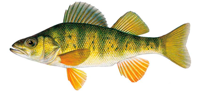 рыба с темным мясом название