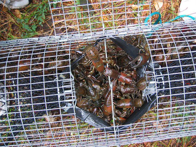 Прикормка и сезоны ловли раков