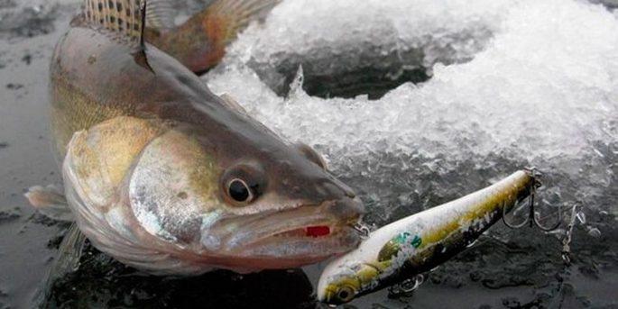 Ловля судака зимой на ратлины: техника и тактика