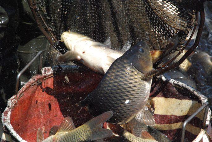 Рыба ОАО «Бисерово»