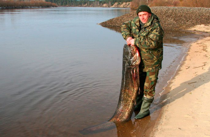 Белорусский сом
