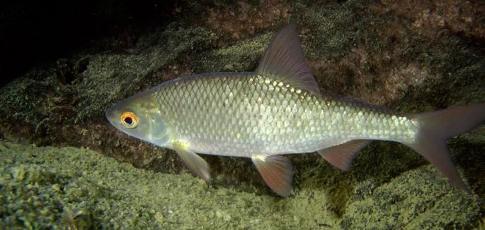 Рыба сорожка — где и как ловить?