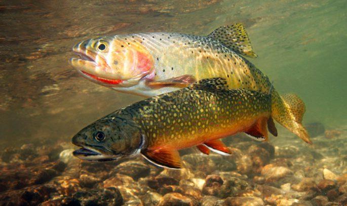 Форель радужная - читайте на Сatcher.fish