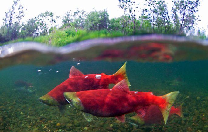 Рыба нерка
