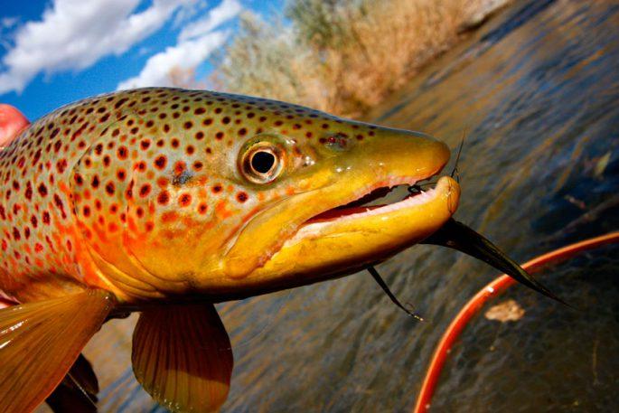 Рыба форель — 7 фактов о видах семейства лососевых