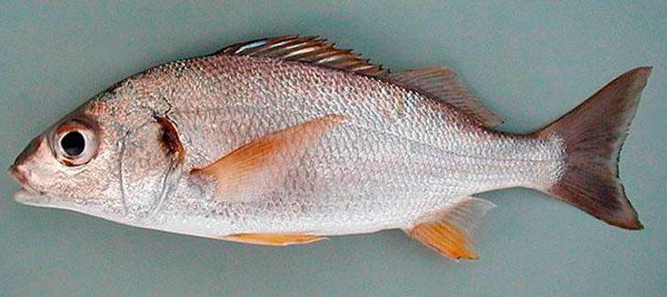 Рыба простипома