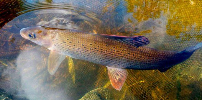 Рыбалка на хариуса в сибири — Здесь рыба