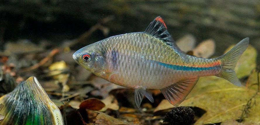 Рыба горчак