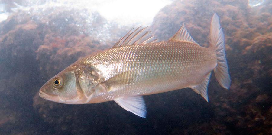 Рыба морской волк (сибас)