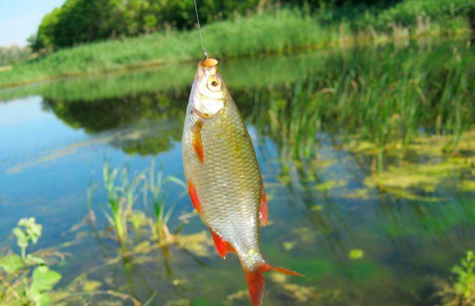 Способ ловли рыбы на пшеницу