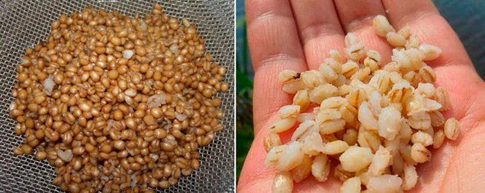 пшеница или перловка