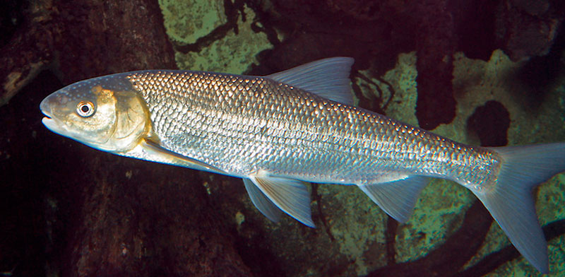 Рыба вырезуб