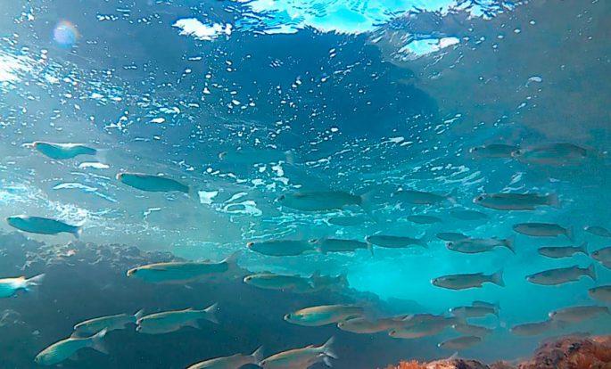 Где обитает рыба лобань