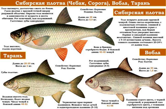 Рыба чебак